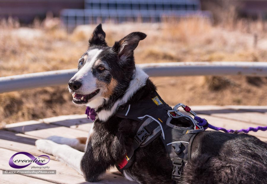 the calgary pet photographer presents a photograph of a happy border collie dog by evocative photography go4awalk #1560 guesstination hint #1