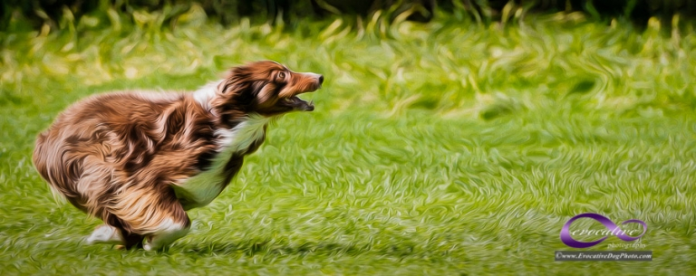 an evocative impression fine art painting of a long-haired red aussie shepherd dog running with complete abandon in a field of short grasses by evocative pet photography in calgary