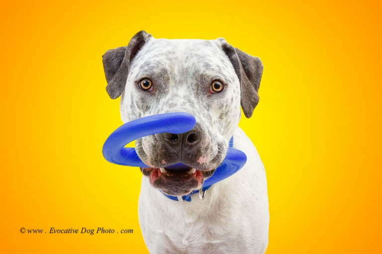 happy excited american staffordshire terrier holding a dog toy in his mouth by evocative photography the calgary pet photography