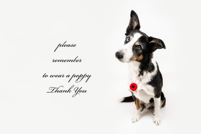 border collie australian shepherd cross asks that you wear a poppy this remembrance day by evocative photography