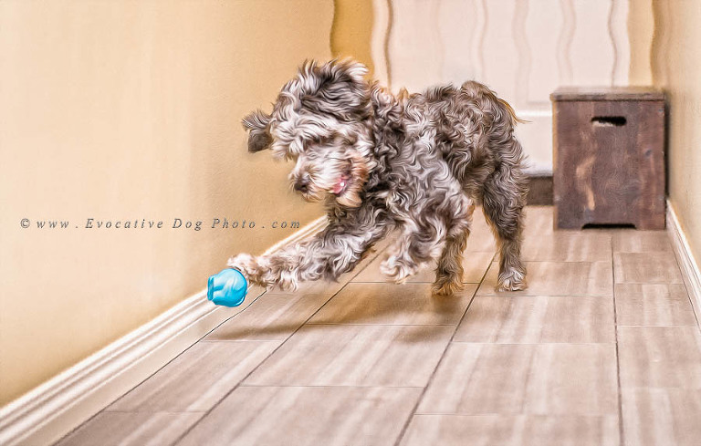 Drizzy the schnoodle foster dog from little mutts rescue society plays with his rubber dog toy dexter as a fine art digital impressionist painting by evocative dog photography