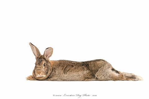Kukla the super relaxed bunny stretching out during his studio pet photography session with evocative pet photography for the discerning animal lover in calgary
